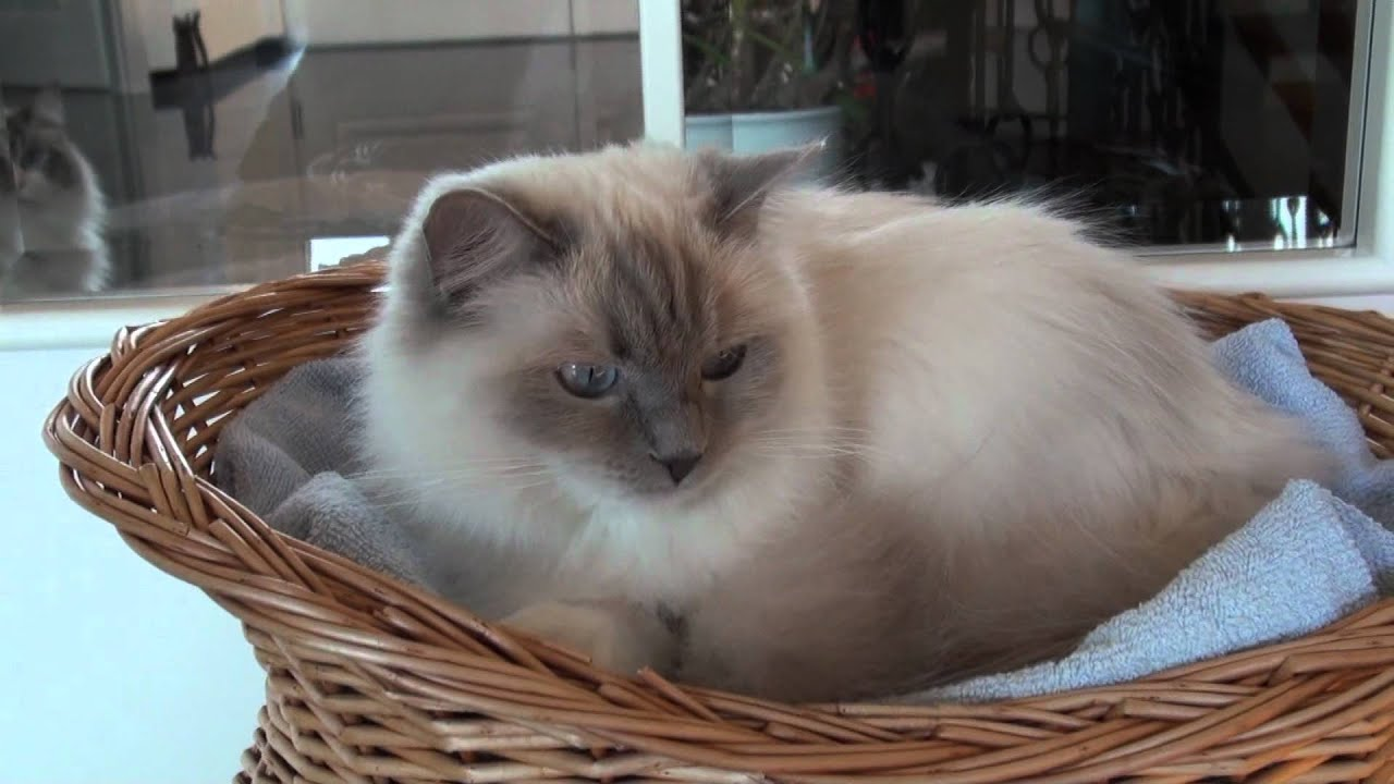 Pictures Of Lilac Ragdoll Cats