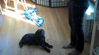 9 Week Old Black Labrador Puppy Training Session