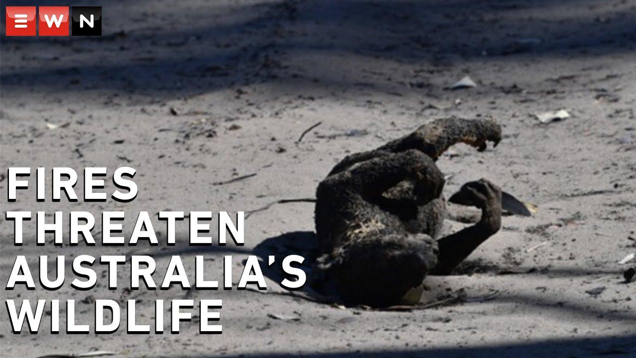 Mass wildlife extinction feared amidst Australia's wildfires -
