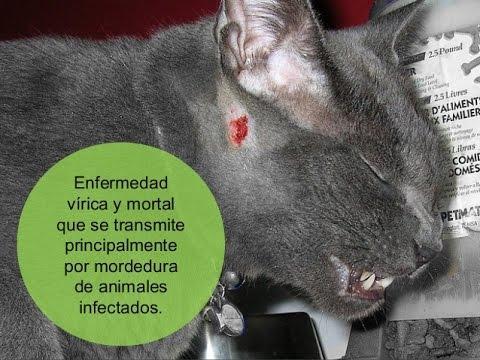 Alerta! Los gatos trasmiten esta mortal enfermedad