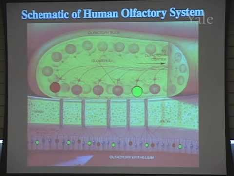 4/14/07  Charles Greer - Scents and Sensibility: The Molecular Mechanisms of Olfaction