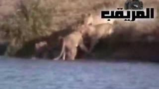 أروع مشهد ستشاهده في حياتك عن الحيوانات البرية - سبحان ربي