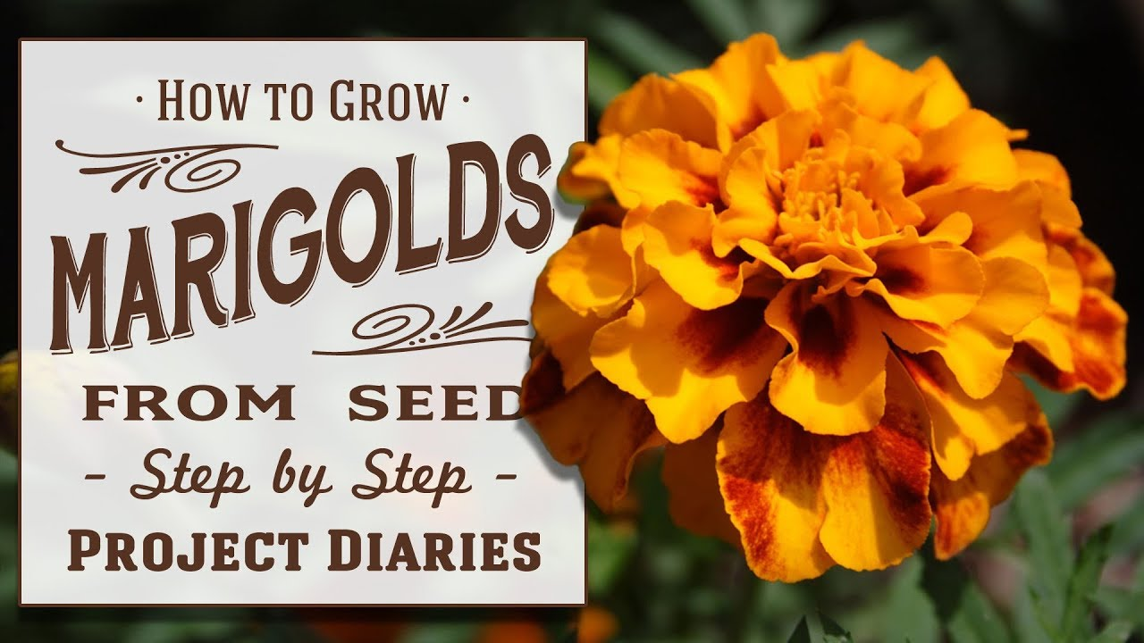 how to grow marigolds from seed a complete step by step guide how to grow marigolds from seed a complete step by step guide izmirmasajfo