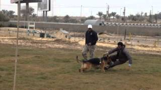 German Shepherd Attack Training In Egypt