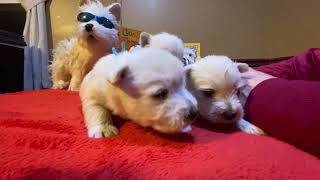 West Highland White Terrier Kylie's Puppies