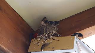 Parent swallows want to rescue the fledgling swallow caught by the ...