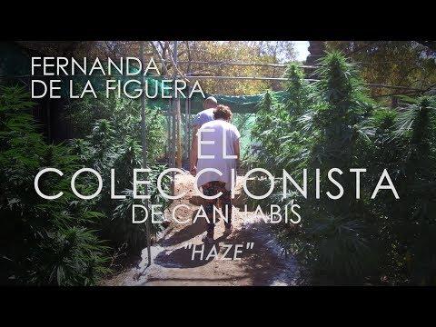 La ABUELA MARIHUANA En El Coleccionista De Cannabis 03  HAZE