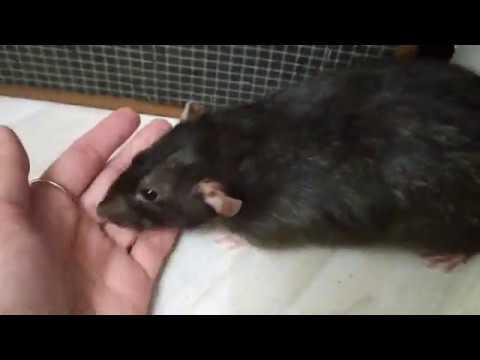 Очередной выгул крысы