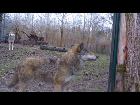 "Wolf ""BIRGER"", 2015 (zoo/tiergarten Worms, Germany)"