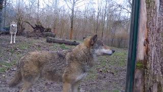"""Wolf """"BIRGER"""", 2015 (zoo/tiergarten Worms, Germany)"""