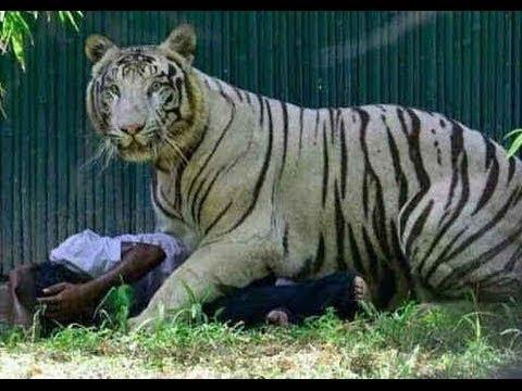 Delhi Zoo White Tiger Attack