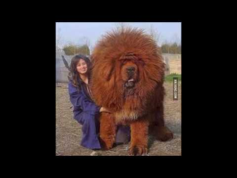 Giant Tibetan Mastif Youtube