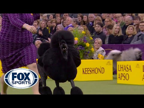 'Siba' The Standard Poodle Wins The Non-Sporting Title At 2020 Westminster Dog Show | FOX SPORTS