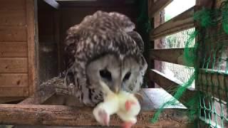 (衝撃映像)可愛いフクロウがヒヨコを丸呑み/A cute owl swallows whole chick