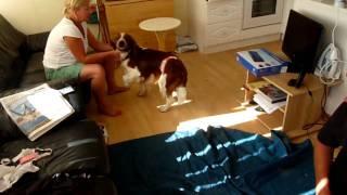 Canine Epilepsy In A Welsh Springer Spaniel 1