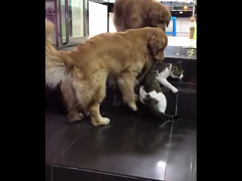 Aaron - Golden Retriever Breaks Up Cat Fight