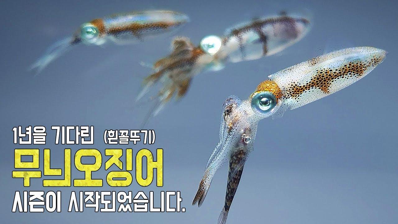 일 년을 준비한 무늬오징어(흰꼴뚜기) 사육 시즌이 시작되었습니다. (쿨타임 찼다!! 이제는 꼴뚜기다!!)