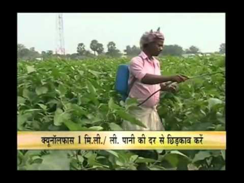 How To Get Better Yield Of Brinjal Crop