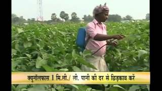 How to get better yield of brinjal crop