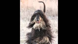 Max  the most beautiful afghan hound  in stills and slow motion