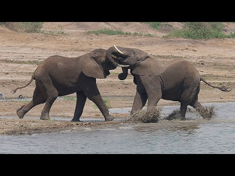 Amazing Wildlife Safari In Queen Elizabeth National Park And Kazinga Channel Uganda 2019 (4K Video)
