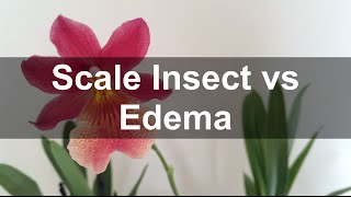 Scale insect vs Edema (blistering) in Orchids - common in Nelly Isler orchid