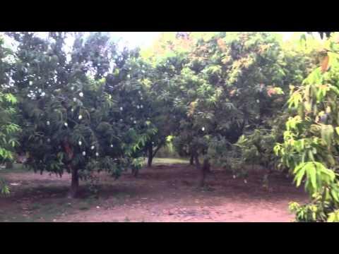 mango farm ,thor,ahmedabad,gujarat,india