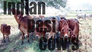 Indian Desi Cows at CVR Natural Farms