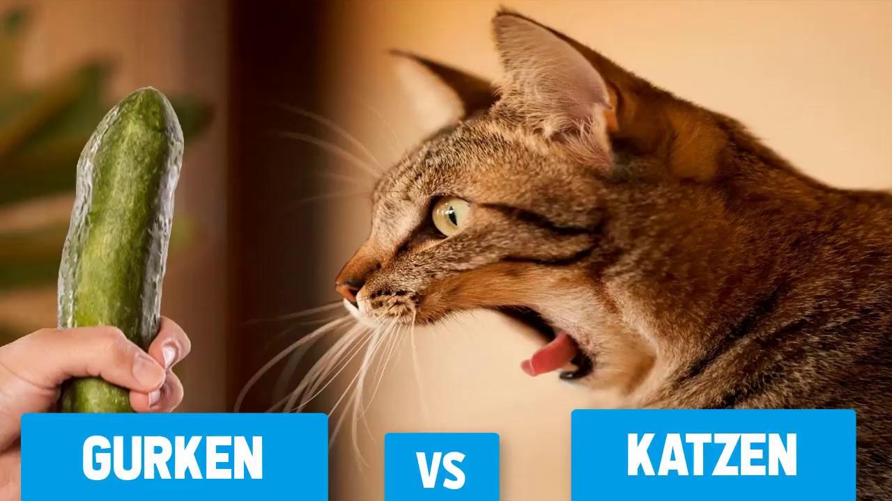 Warum Erschrecken Katzen Bei Gurken