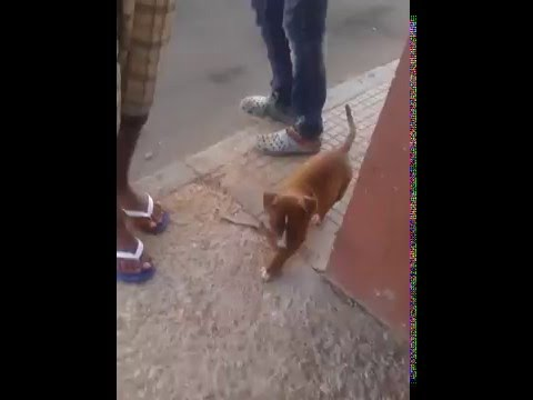 Dressage De Chien   Dogs Training Fes Maroc Part 10   Doovi