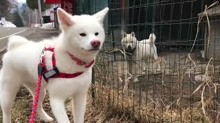 インドカレーで有名な豊平峡温泉へ行く途中、北海道犬と遭遇! 白色の北...