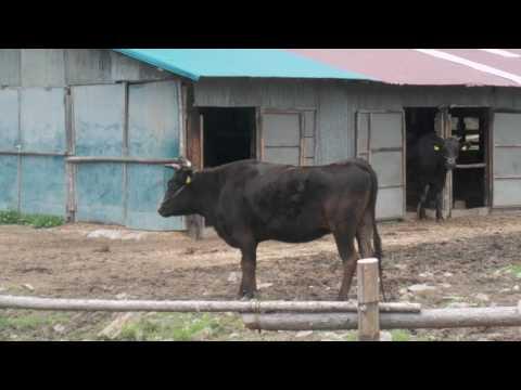 日本国福島県の牛 - 第一部 - Cows, Fukushima-prefecture, Japan - Part 1