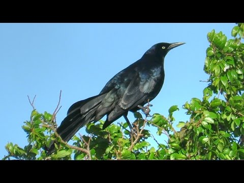 Great-Tailed Grackle Calls