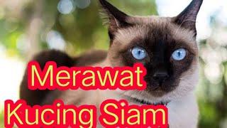 Cara Merawat Kucing Siam yang Lucu