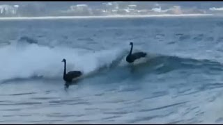 Four black swans spotted surfing in Australia [Full HD Clip]