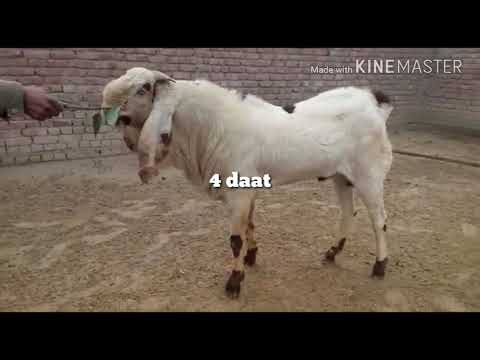 beetal punjabi goat for sale 2018