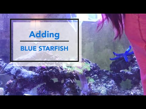 Blue Linckia Starfish Unboxing & Care