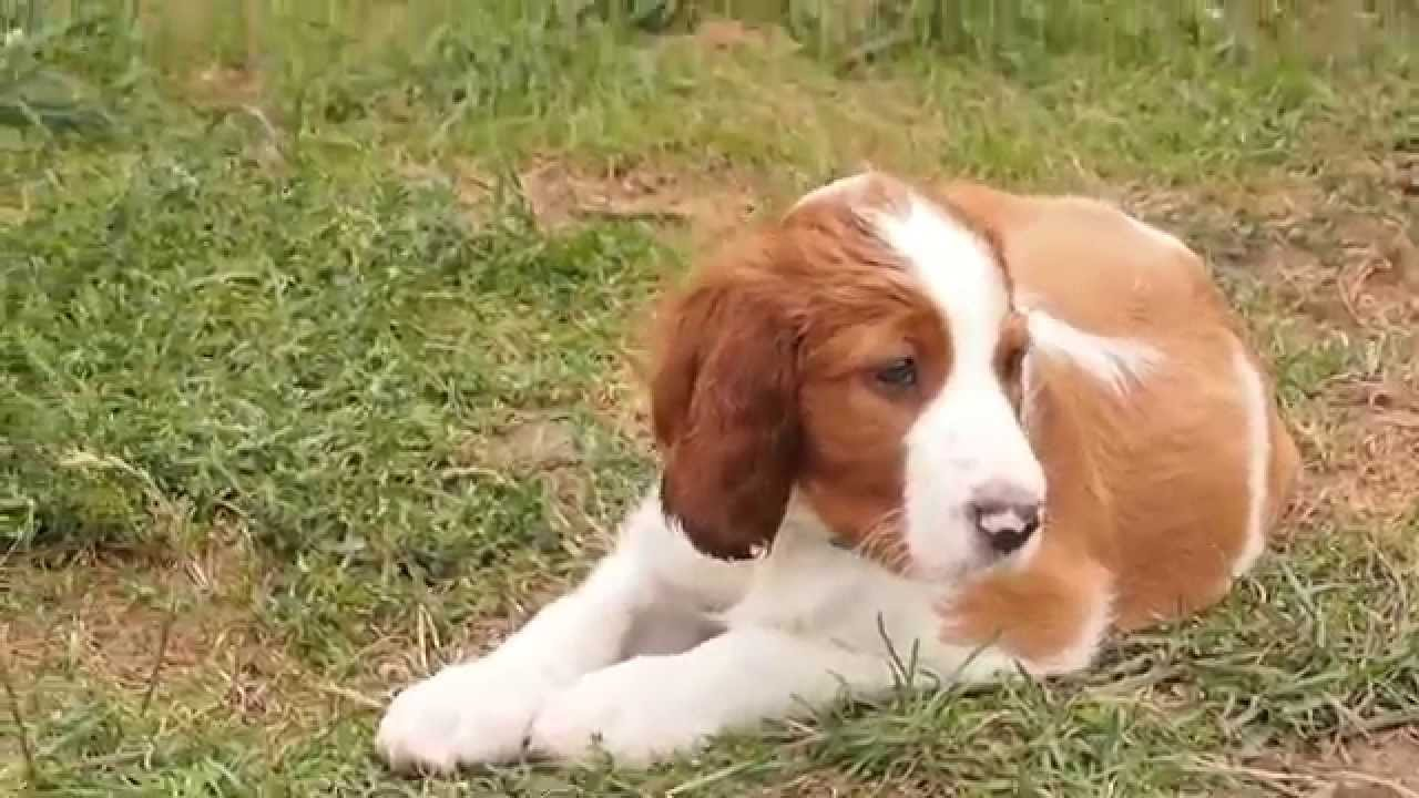 Irish Red and White Setter - Shadow Dog puppies - YouTube