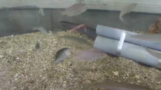 青イソメと石ゴカイ キス(シロギス)の捕食シーン 投げ釣り 和歌山 釣太郎
