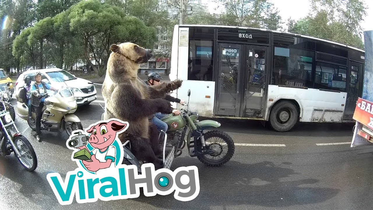 Funny Video: Bear Rides a Motorcycle and Plays a Trumpet In Russia