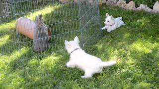 Westie Welpen - Oskar Und Lilli Und Der Hase