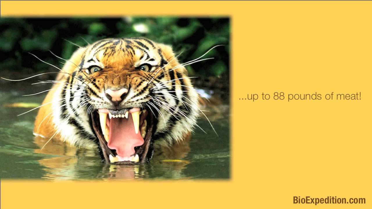 Information about Tigers - YouTube