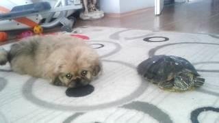 eve yeni gelen yavru köpeģin evdeki kaplumbaģa ile tanışması