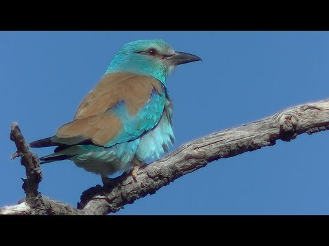Carraca europea (Coracias garrulus) European Roller +++