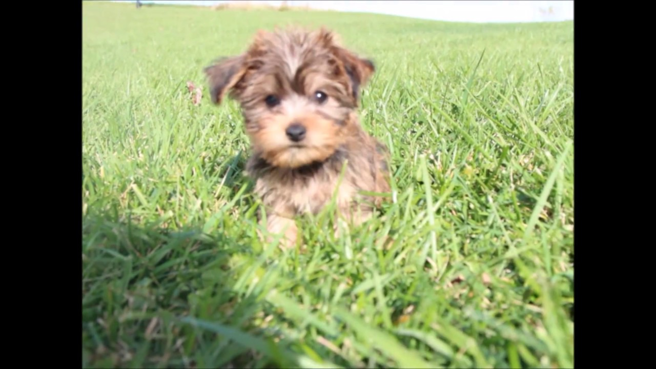 Shichon puppies for sale in kentucky - Puppies For Sale Yochon Puppies Perry Smokey And Ranger
