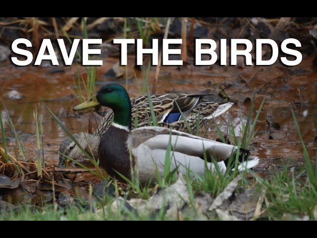 Save the Birds - Great Lakes Now - Web Extra - 1028