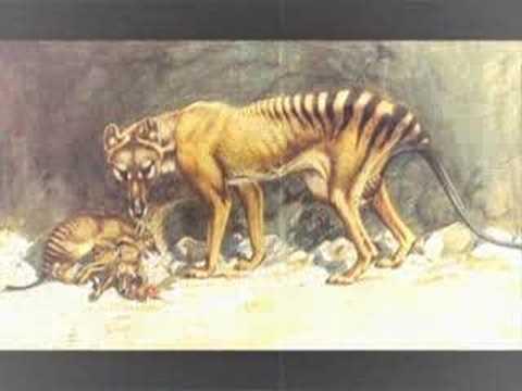 Thylacine facts - YouTube