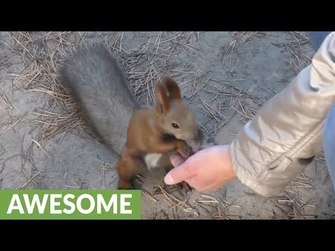 Fearless wild squirrel searches human for treats