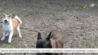 видео Уход и питание за бельгийской овчаркой малинуа