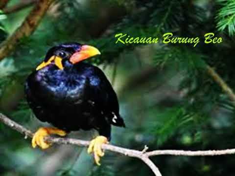 Burung Beo Nias Gacor Si Pintar Meniru Suara Merdu Youtube